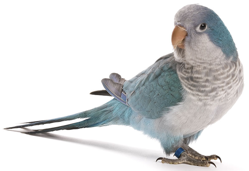 Quaker Parrots As Pet Birds Care Lifespan Costs Bird Gene